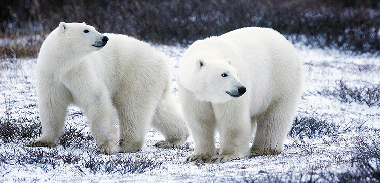 Polar bears march for waste management